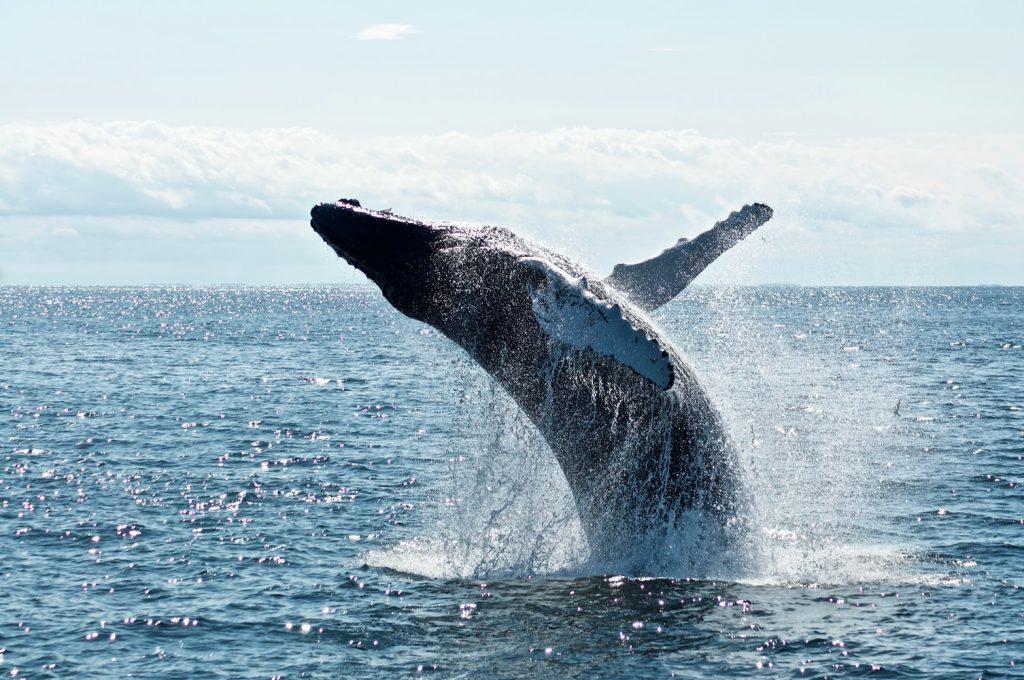 canada, baleine canada, baleine
